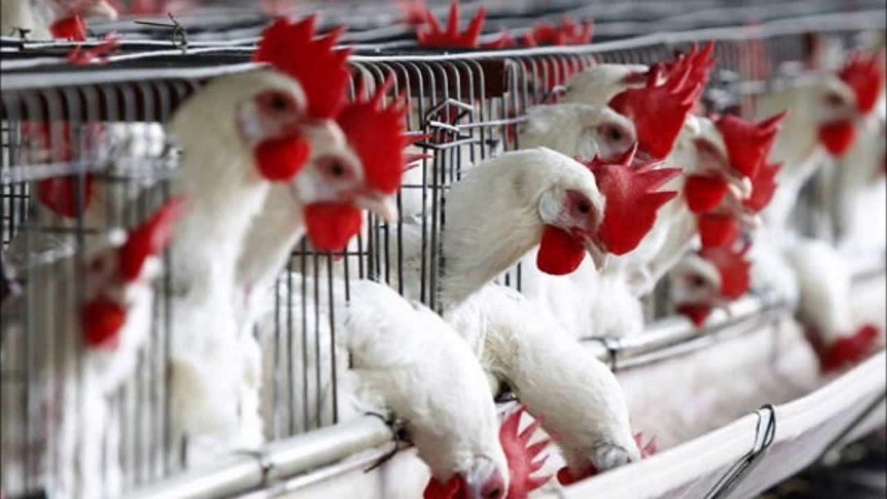 INFLUENZA AVIÁRIA – Avicultura da América Latina define estratégia ...