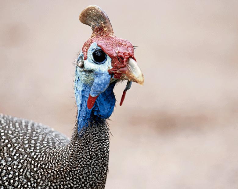 Como criar galinha d'angola - Revista Globo Rural | Revista