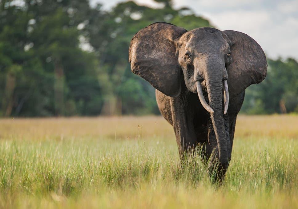 Um elefante da floresta no Safari do Parque Nacional Loango, no Gabão