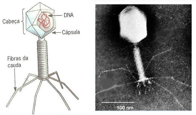Vírus: o que são e características - Resumo de Biologia Enem