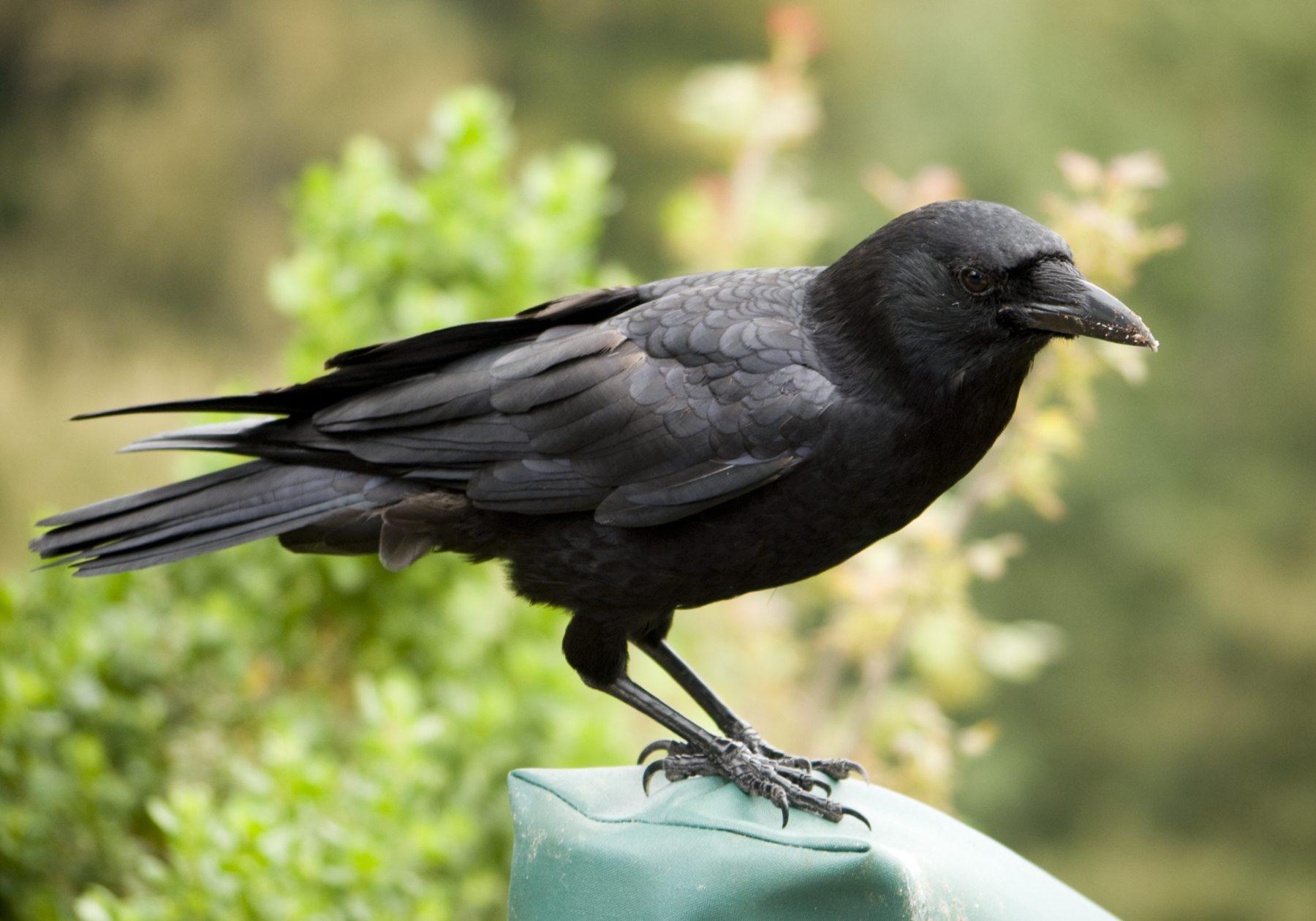 A inteligência dos corvos - Jornal Cruzeiro do Vale