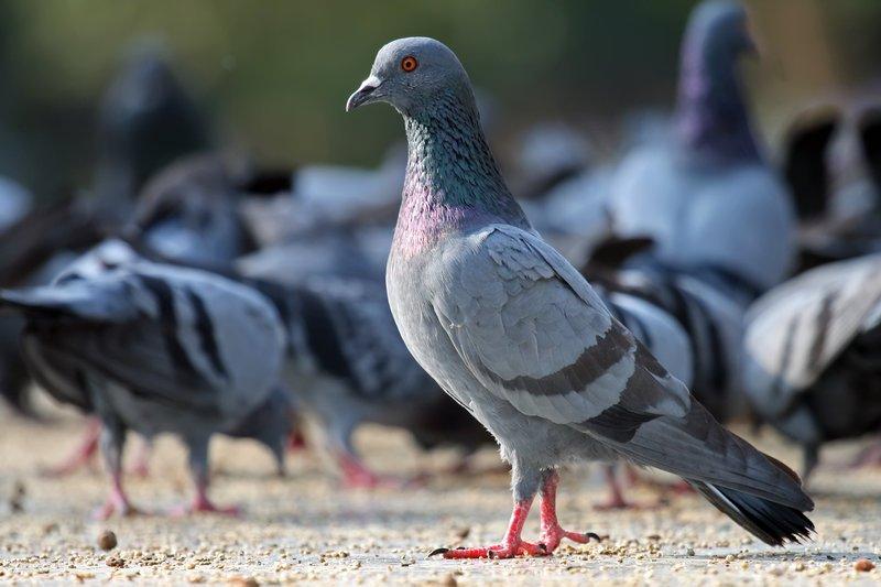 Dicas para afastar pombos - Desentupidora Higitec | Desentupidora 24 horas  em São Paulo