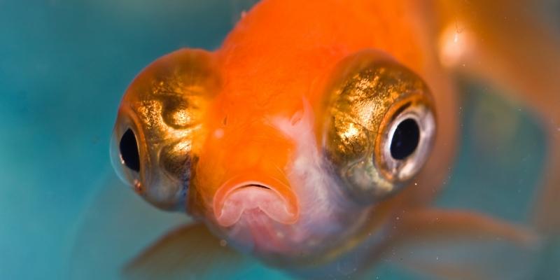 Olhos de peixe podem ajudar oftalmologia humana