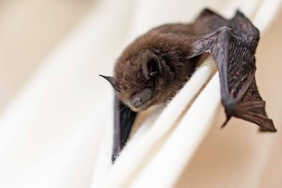 Até os morcegos se distanciam socialmente quando se sentem doentes