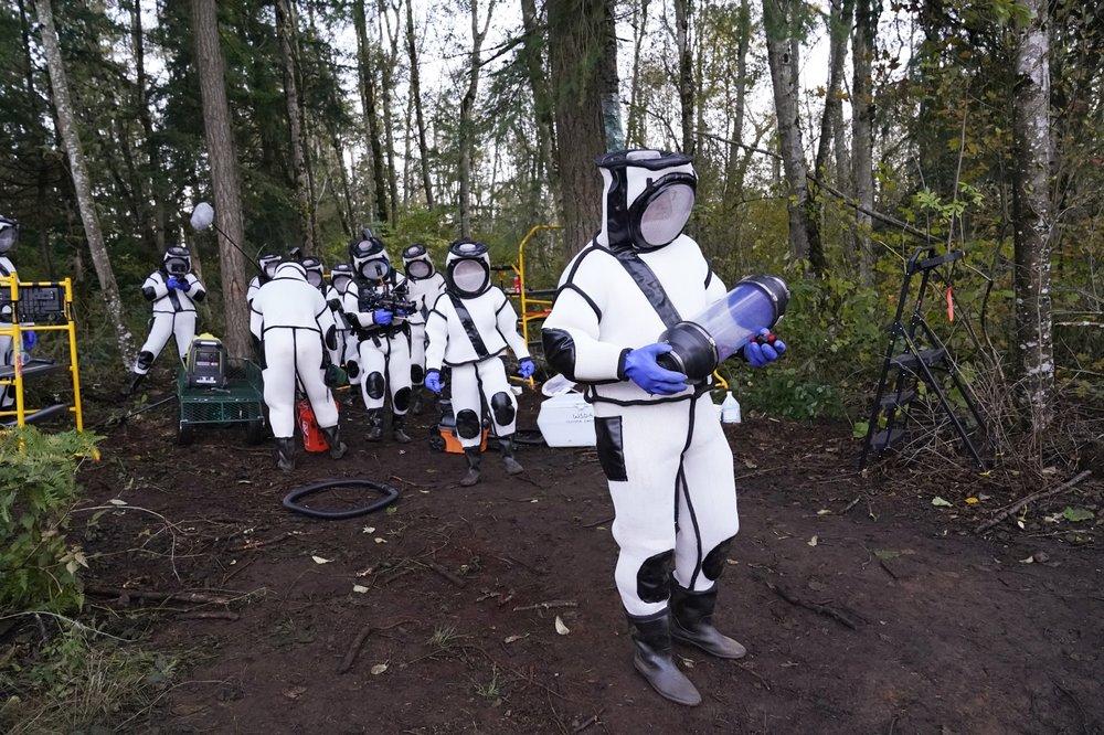 Cientistas removem 98 'vespas assassinas' no estado de Washington
