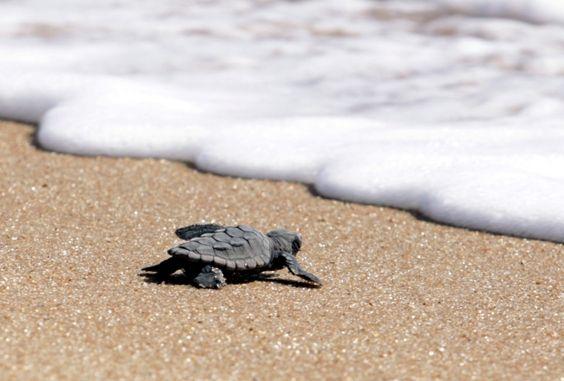 Projeto Tamar faz hoje soltura de tartarugas no Farol de São Tomé - CDL  Campos