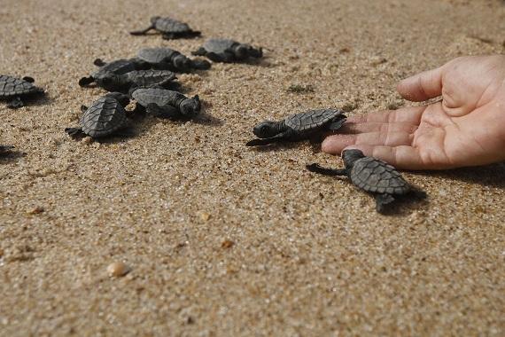Ovos de tartaruga são retirados da Barra e levados ao projeto Tamar –  Subúrbio News