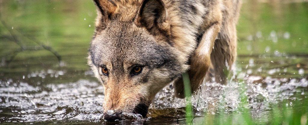 A administração Trump acaba com as proteções do Lobo Cinzento contra o conselho dos cientistas