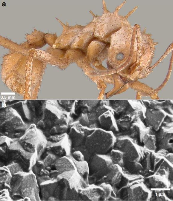 Conheça formigas que vestem uma 'armadura biomineral'