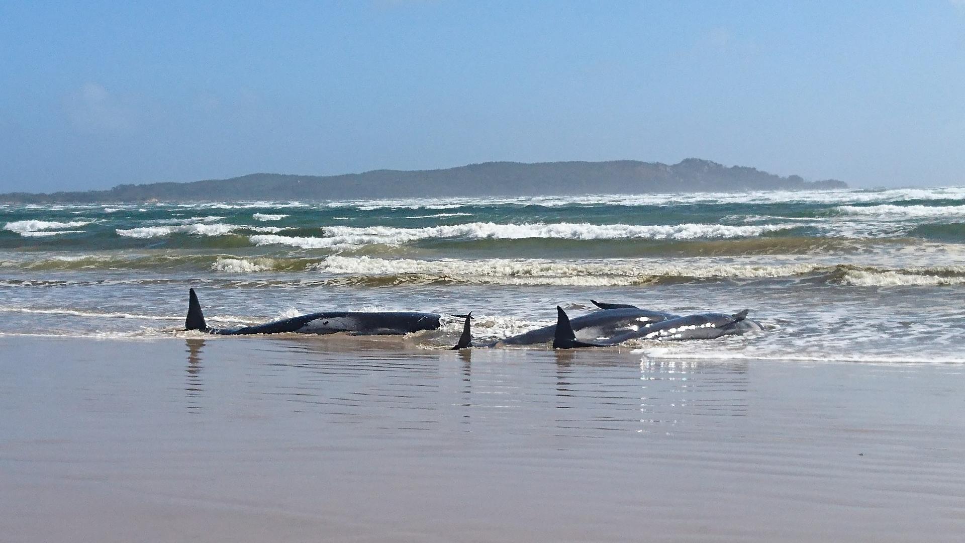 Quase 100 baleias-piloto morrem encalhadas em massa nas ilhas da Nova Zelândia