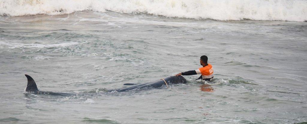Voluntários incansáveis e a marinha do Sri Lanka acabam de salvar 120 baleias do encalhe