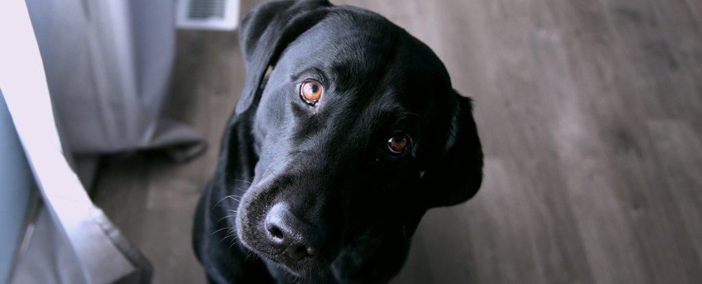 Cães provavelmente não nos entendem tão bem quanto pensamos, revelam imagens do cérebro