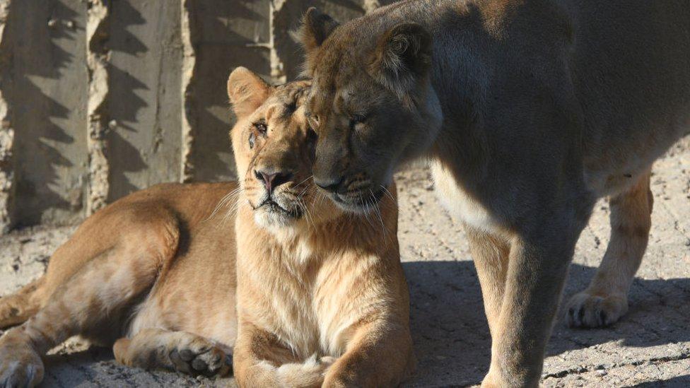 Quatro leões testam positivo para Covid-19 no zoológico de Barcelona