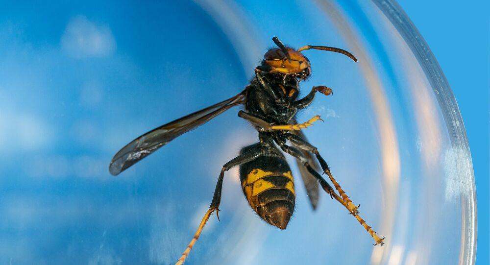 Abelhas usam ferramentas da natureza para se defender, saiba mais