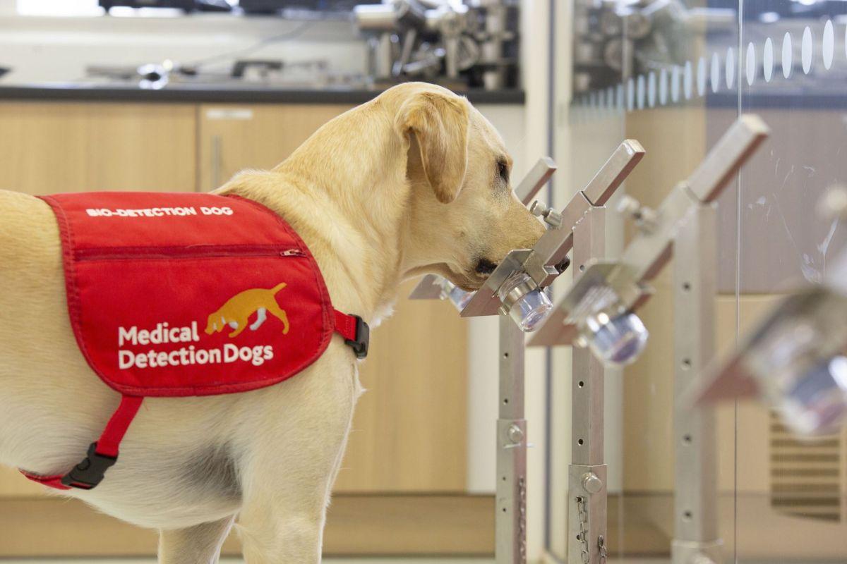 Acabamos de obter mais evidências de que alguns cães podem detectar o COVID-19 com segurança