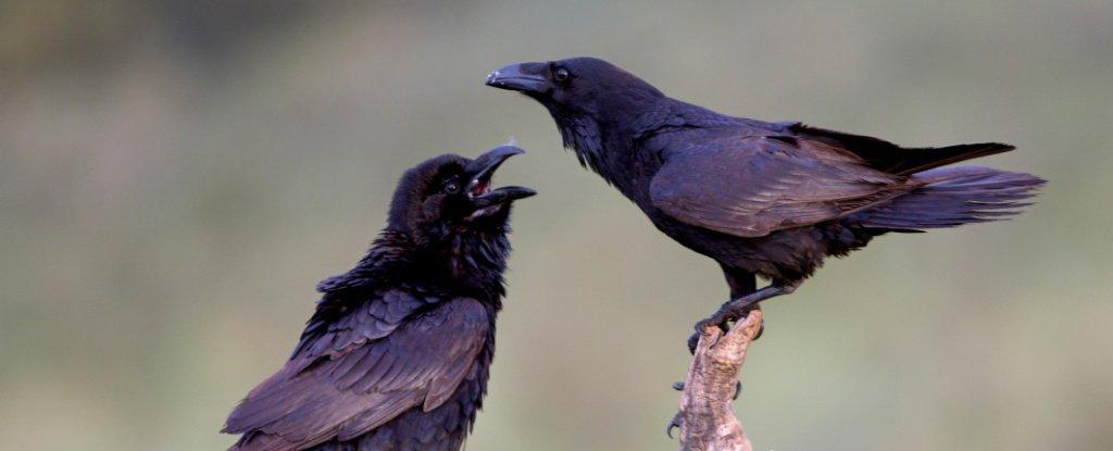 Jovens corvos podem ter habilidades cognitivas que rivalizam com os grandes macacos adultos, descobriram pesquisas