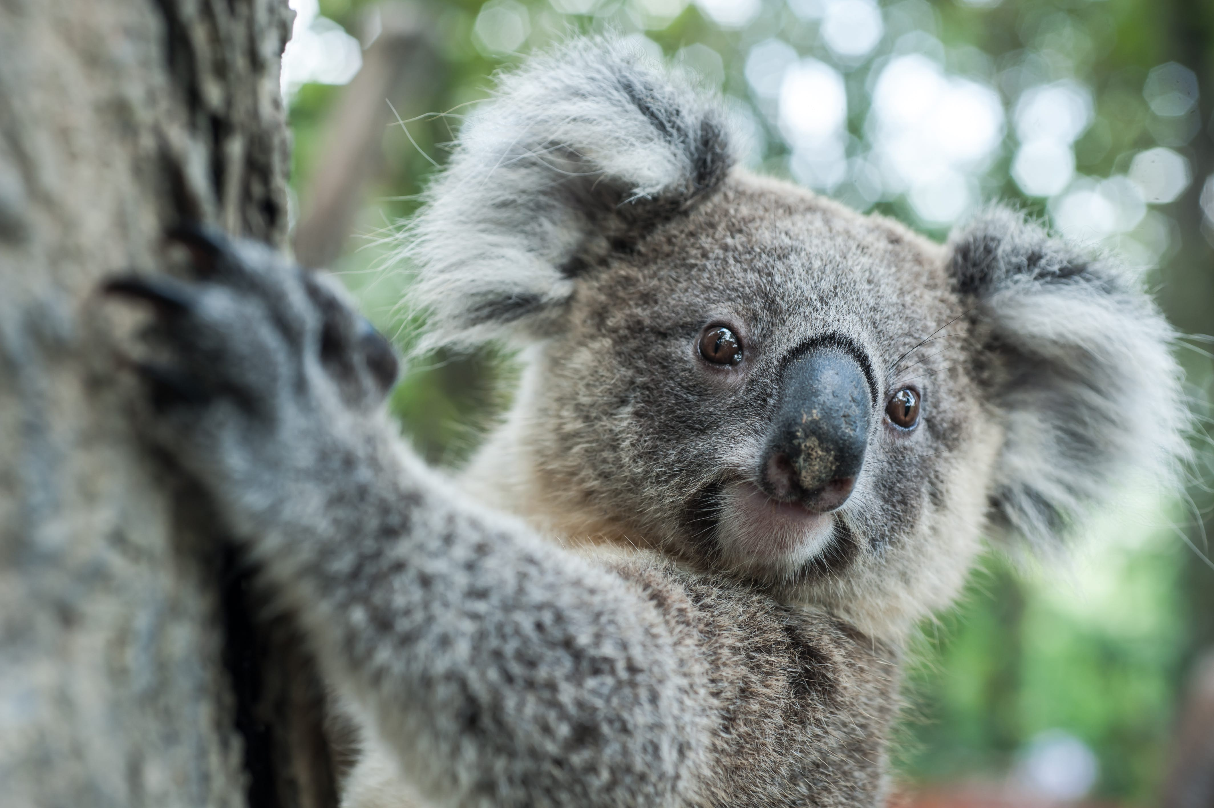 Koalas could end up on the endangered species list in Australia - Lonely  Planet