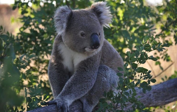Will Mike Baird Learn From Campbell Newman's Koala-Killing Clearing Laws? -  New Matilda