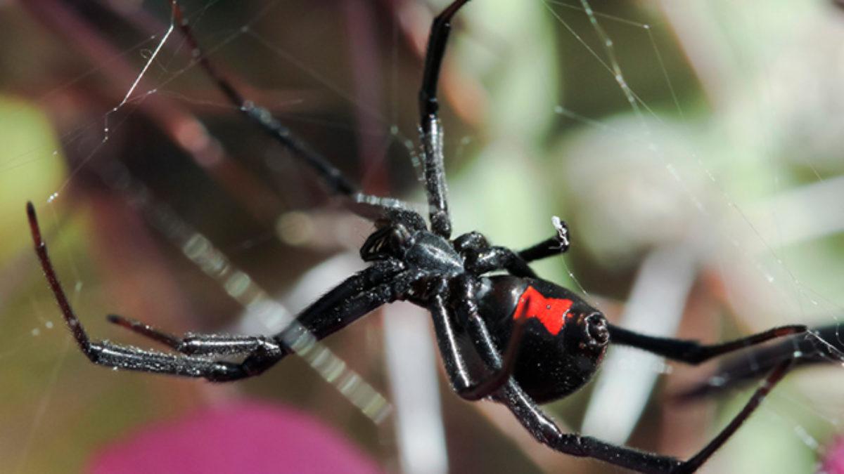 Aranha viúva negra: curiosidades, características e fotos - Estudo Prático