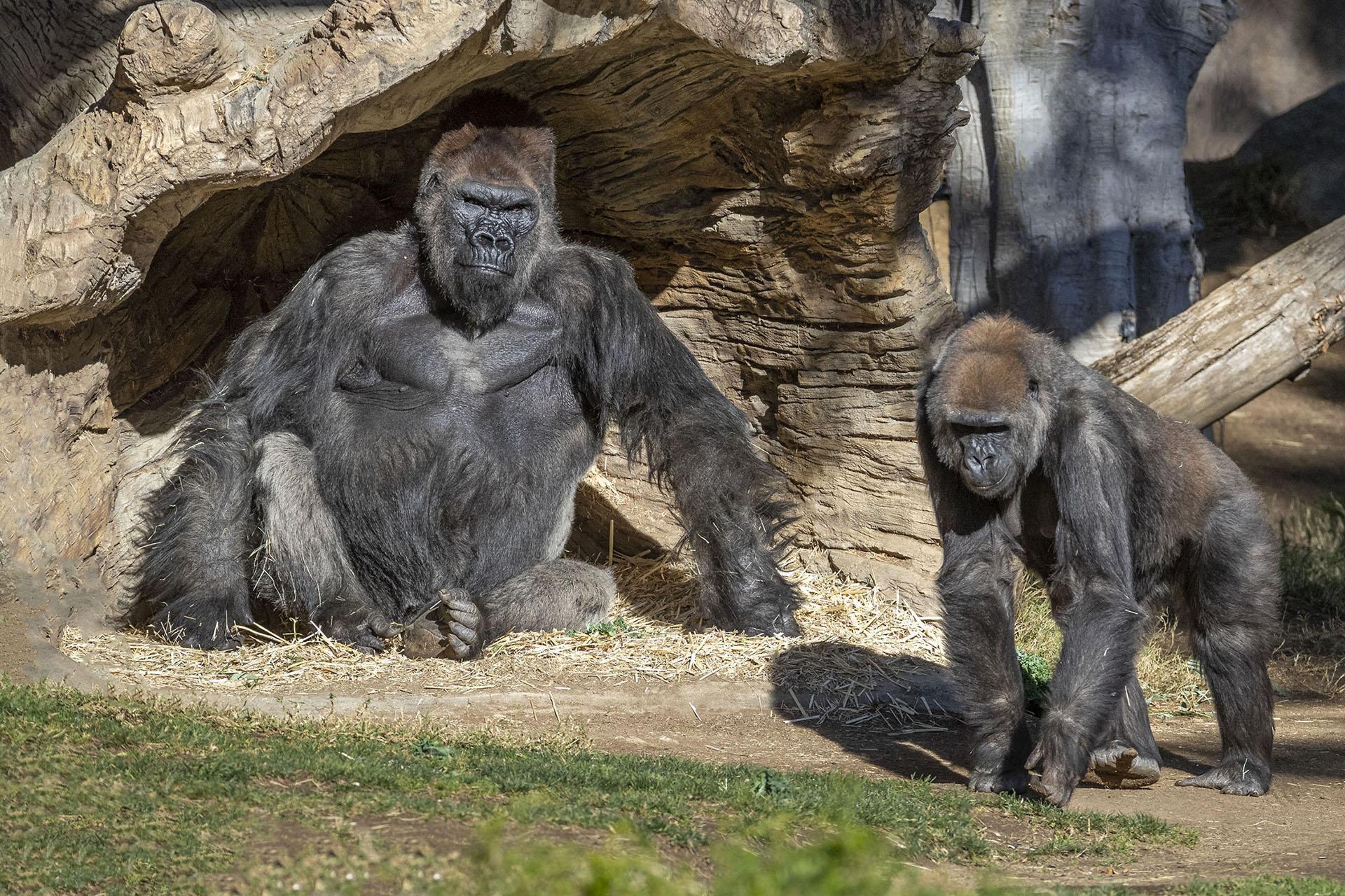 Primeiro caso confirmado de transmissão COVID-19 para macacos de grande porte