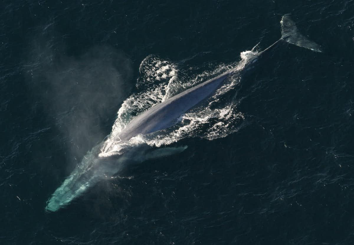 As baleias estão finalmente retornando às regiões polares de nosso planeta após 40 anos